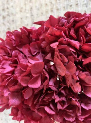 Hydrangea/Hortensia Rød