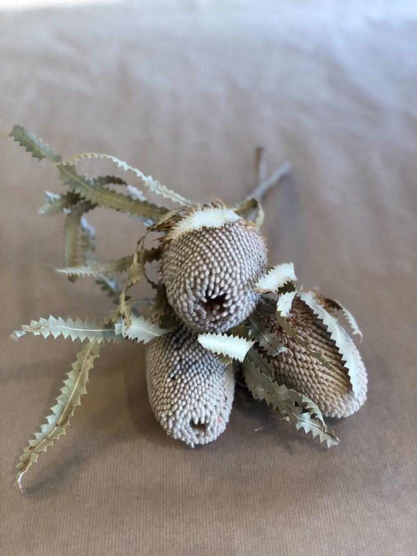 Banksia Prinotes Flower Natural